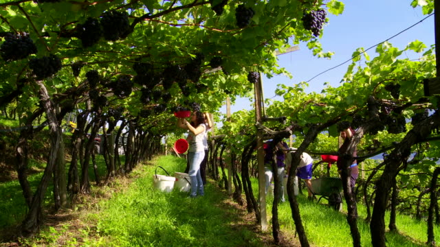 Pergola vineyard in Tramin an der Weinstrasse in South Tyrol