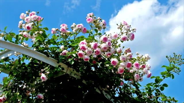 Pergola mit Rosen