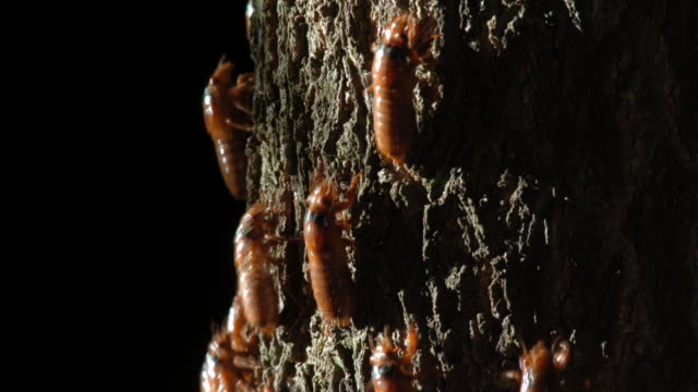Periodic cicada nymphs crawl up a tree trunk. Available in HD.