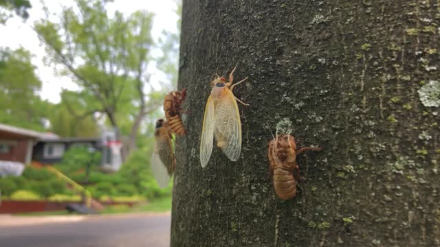 periodical cicada's wings extend and dry after emerging from its shell while clinging to the side of a tree on may 16, 2021 in takoma park, maryland.... - 16 17 years stock videos & royalty-free footage