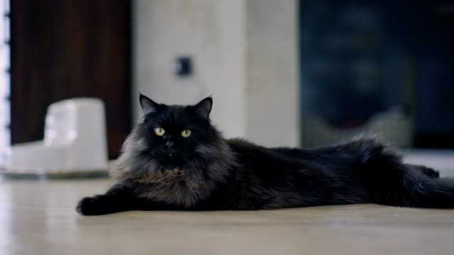 vídeos de stock, filmes e b-roll de gato persa preto - gato não domesticado