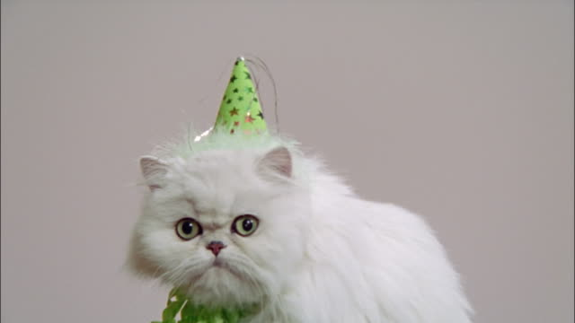 Persian cat in studio wearing party hat