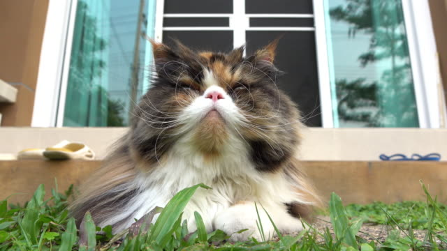 Persian cat laying on grass turf