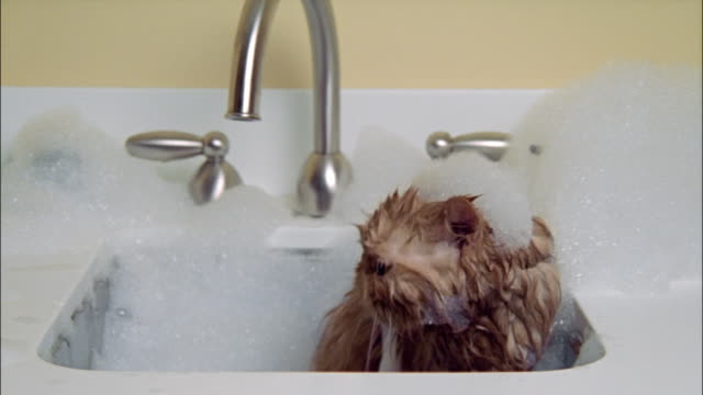 Persian cat taking bath in sink wet and covered in soap suds / shakes head
