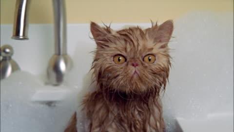 vídeos y material grabado en eventos de stock de persian cat taking bath in sink wet and covered in soap suds - mascota