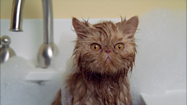 vídeos de stock, filmes e b-roll de persian cat taking bath in sink wet and covered in soap suds - gato doméstico