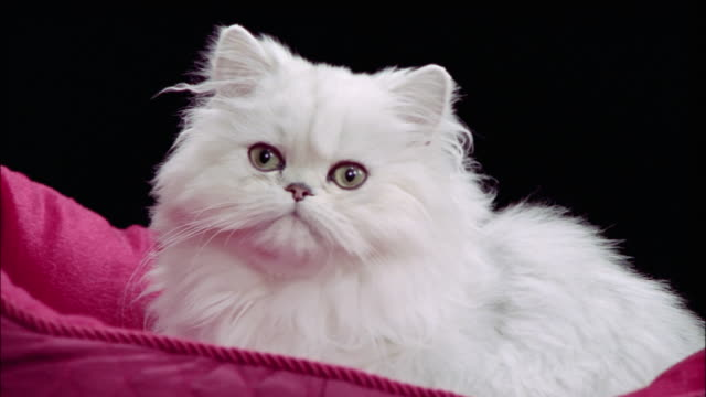 Persian cat wearing diamond collar lying in pink cat bed