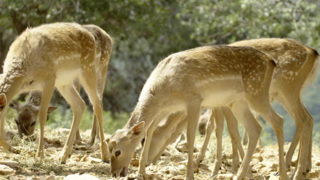 persian fallow deer (dama dama mesopotamica), israel - extinct stock videos and b-roll footage