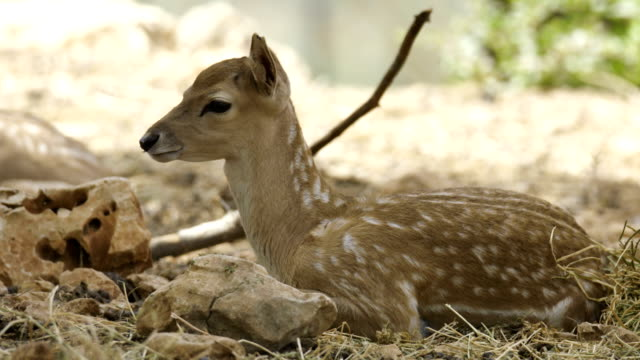vídeos y material grabado en eventos de stock de persian fallow deer (dama dama mesopotamica), israel - cervato