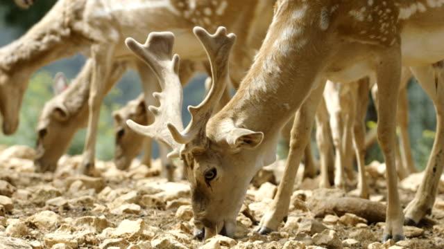 Persian fallow deer (Dama dama mesopotamica), Israel