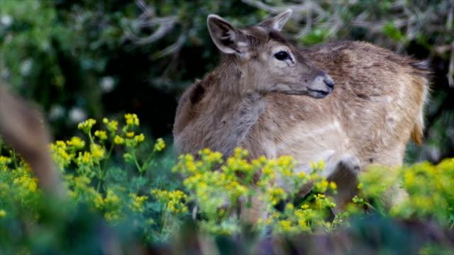 persian fallow deer (dama mesopotamica) - deer family stock videos and b-roll footage