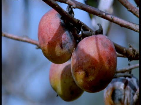 persimmon fruits, florida - 小枝点の映像素材/bロール