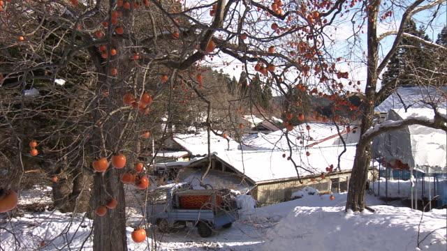 Persimmon trees in Aomori, Japan