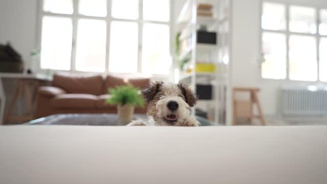 stockvideo's en b-roll-footage met hardnekkig weinig puppy - klein