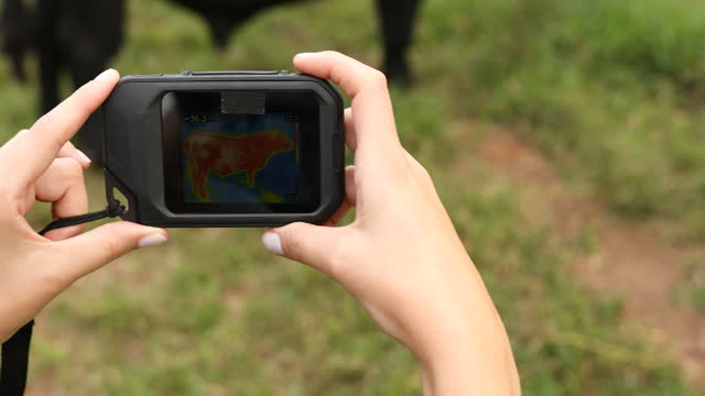 a person checking the external temperature of the cattle - livestock stock videos & royalty-free footage