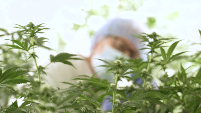 person examining marijuana plant leaf. - study stock videos & royalty-free footage
