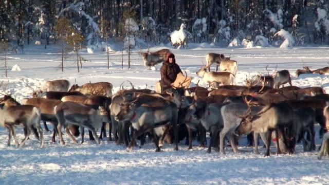 ws pan person feeding herd of reindeer in snowy field / jokkmokk, norrbotten province, sweden - vaja bildbanksvideor och videomaterial från bakom kulisserna