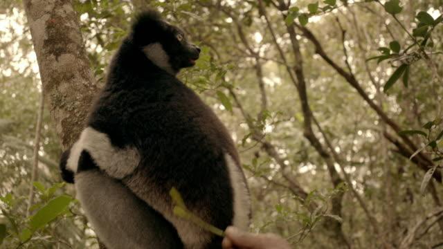 vídeos de stock e filmes b-roll de person feeds indri leaves, madagascar - animal em via de extinção