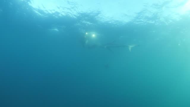 stockvideo's en b-roll-footage met person following while filming shark swimming in blue ocean, marine predator is underwater - san diego, california - zwemvlies