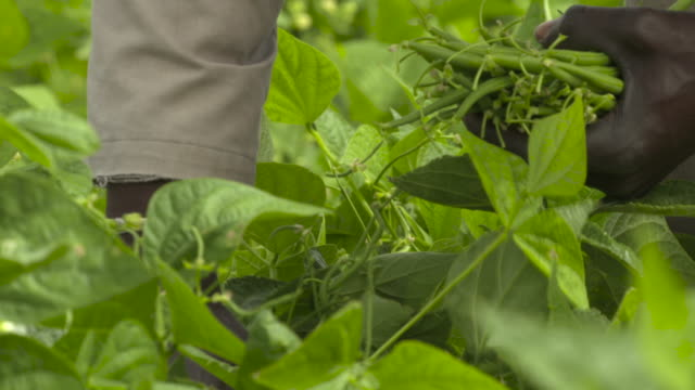 person gathers green beans in field, senegal - senegal stock videos & royalty-free footage