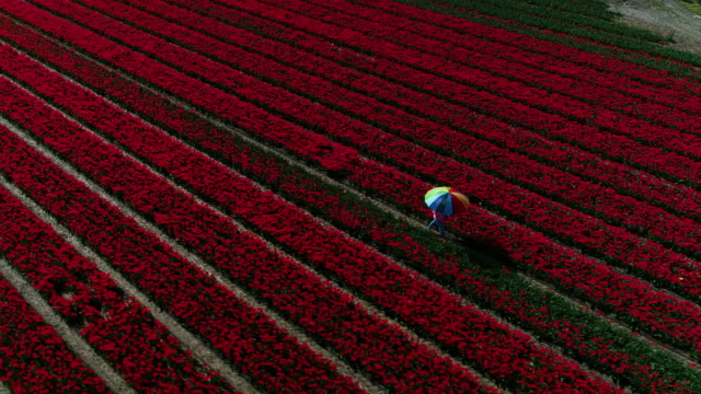 person holding an umbrella walking through a tulip field, netherlands - contrasts stock videos & royalty-free footage