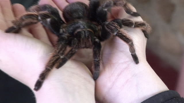 cu, person holding tarantula on hands, mexico - angst stock-videos und b-roll-filmmaterial