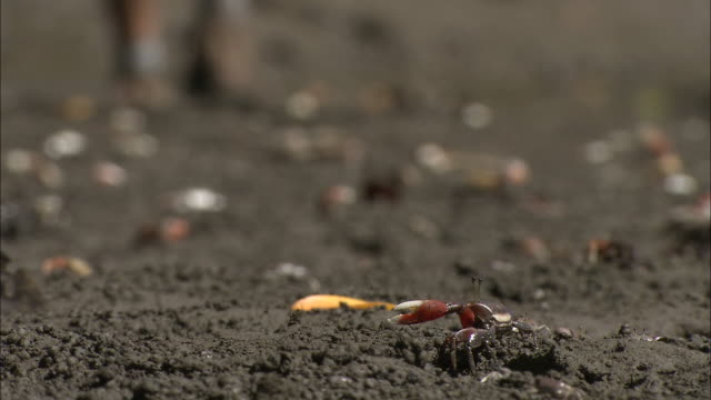a person in hiking shoes walks on a sandy beach covered with crabs. - zuschnappen stock-videos und b-roll-filmmaterial