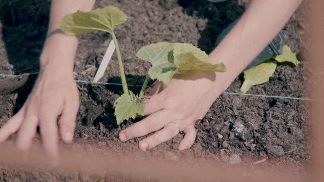 vídeos de stock e filmes b-roll de person planting green vegetable plant in community garden - chipping norton england