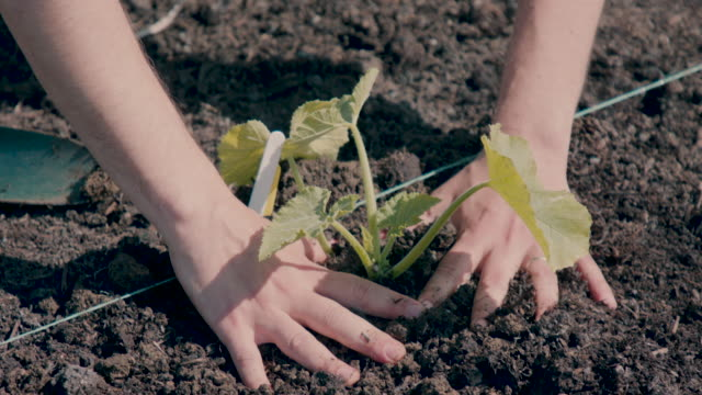 Person planting green vegetable plant in community garden