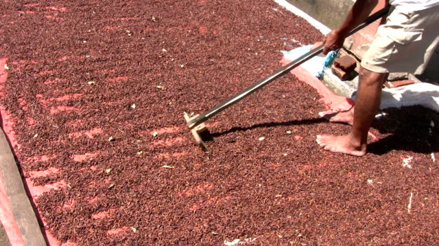 person raking clove harvest drying - raw food stock videos & royalty-free footage
