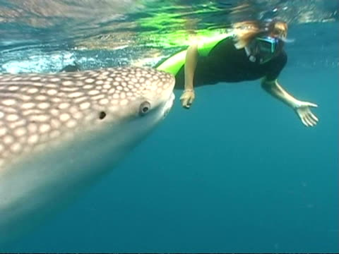 MCU Person swimming with Whale shark (Rhincodon typus), Maldives