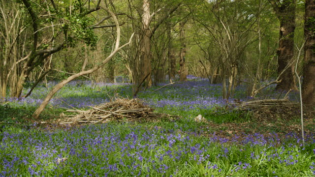 Person walks in distance in bluebell woodland