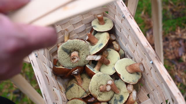 person with a wooden basket wit edible mushrooms (boletus). germany (brandenburg) - group of objects stock videos & royalty-free footage