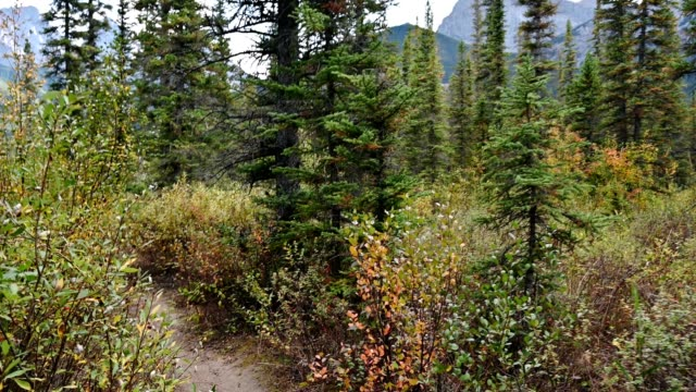 vídeos de stock e filmes b-roll de personal angle walking into the autumn deep forest on wilderness in three sisters mountains at banff national park - trilho