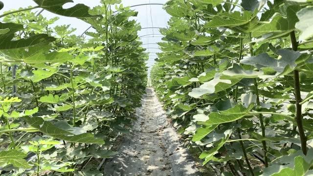 personal perspective of waling among fig trees in a greenhouse - minskande perspektiv bildbanksvideor och videomaterial från bakom kulisserna