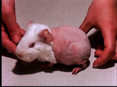 1960 cu person's hands on both sides of guinea pig with shaved body/ audio - okänt kön bildbanksvideor och videomaterial från bakom kulisserna
