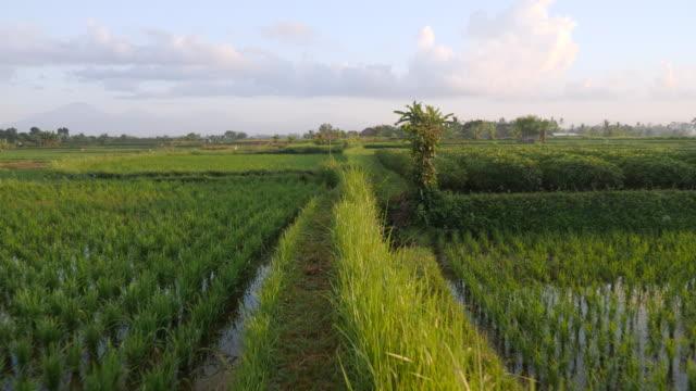 vidéos et rushes de point de vue tourné en parcourant les champs de riz à la lumière du petit matin - océan pacifique