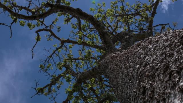 perspective view of a typical 'brazilian cerrado' tree - cerrado stock videos & royalty-free footage