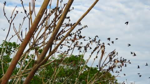 peru, amazon basin, lots of martins leaving the tree, pacaya samiria national reserve - perching stock videos & royalty-free footage