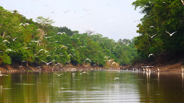 Peru, Amazon basin, Many birds, especially heron, flying in Pacaya Samiria National Reserve