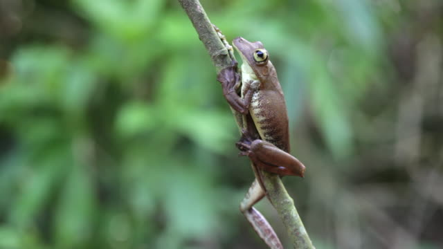 Peru, Cruz-De-Mayo, Manu National-Park, UNESCO-World-Heritage-Site, Pantiacolla-Mountains. Gladiator Tree Frog ( Hypsiboas boans }