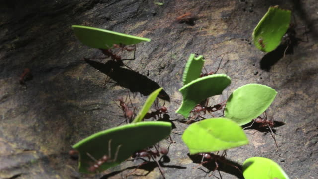Peru, Cruz-De-Mayo, Manu National-Park, UNESCO-World-Heritage-Site, Pantiacolla-Mountains. Leaf cutter ants transporting leaves and fellow ants