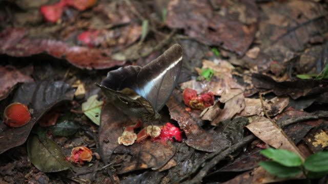 Peru, Cruz-De-Mayo, Manu National-Park, UNESCO-World-Heritage-Site, Pantiacolla-Mountains. Owl Butterfly ( Caligo Eurilochus ) feeds on rotting fruit