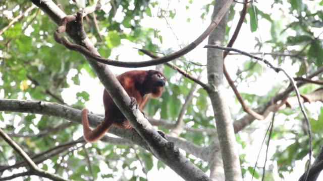 Peru, Cruz-De-Mayo, Manu National-Park, UNESCO-World-Heritage-Site, Pantiacolla-Mountains. Red Howler monkey ( Alouatta Seniculus )