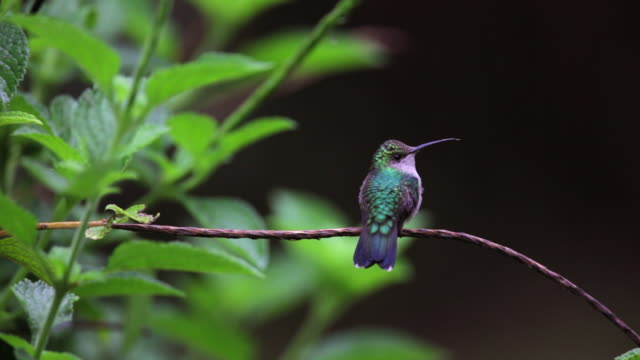 Peru, Cruz-De-Mayo, Manu National-Park, UNESCO-World-Heritage-Site, Pantiacolla-Mountains. Grey-breasted Sabrewing hummingbird (Campylopterus largipennis)