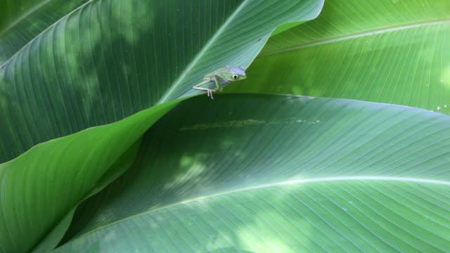 Peru, Cruz-De-Mayo, Manu National-Park, UNESCO-World-Heritage-Site, Pantiacolla-Mountains. White lined leaf frog ( (Phyllomedusa vaillanti )