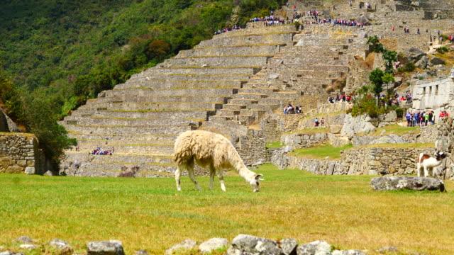 peru, machu pichu  a llama grazing in the site, with machu pichu summit in the background - pre columbian stock videos and b-roll footage