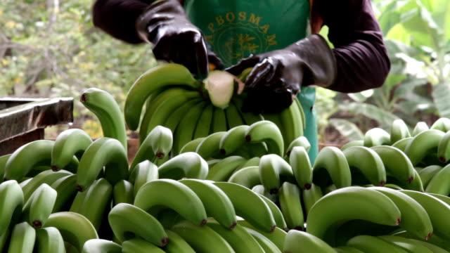 peru, sullana, banana processing - banana stock videos & royalty-free footage