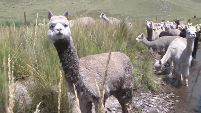 peru's textile industry is betting on the coveted sustainable and employment generating wool of its andean alpacas to overcome the relentless... - mountain stock videos & royalty-free footage