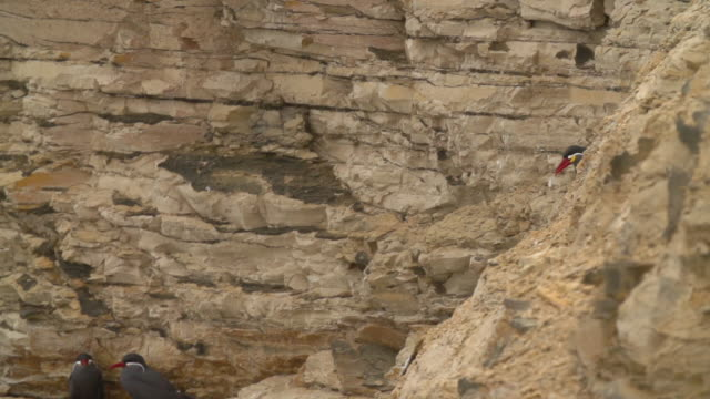 A Peruvian Bird Takes off from Rocky Cliff
